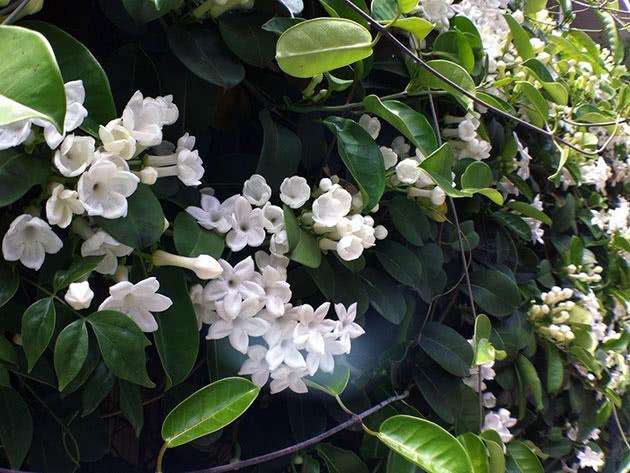 Квіти стефанотіс