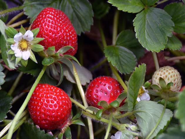 Цвітіння і плодоношення полуниці