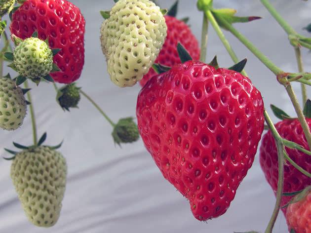 Вирощування полуниці садової