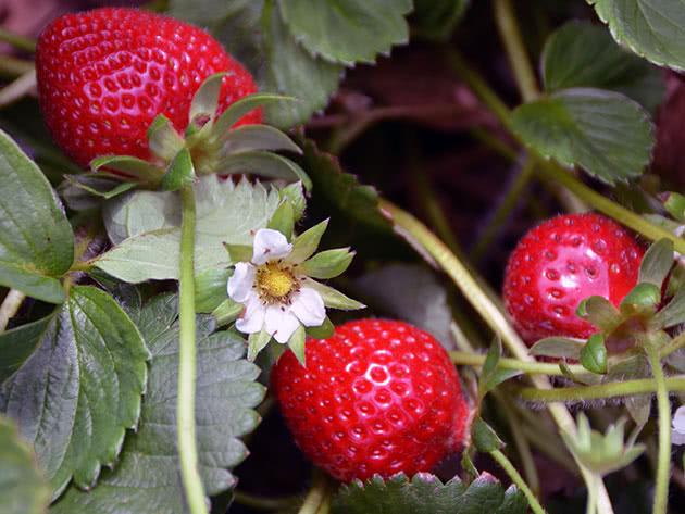Плодоношення садової полуниці