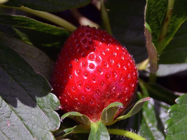 Ягода полуниці