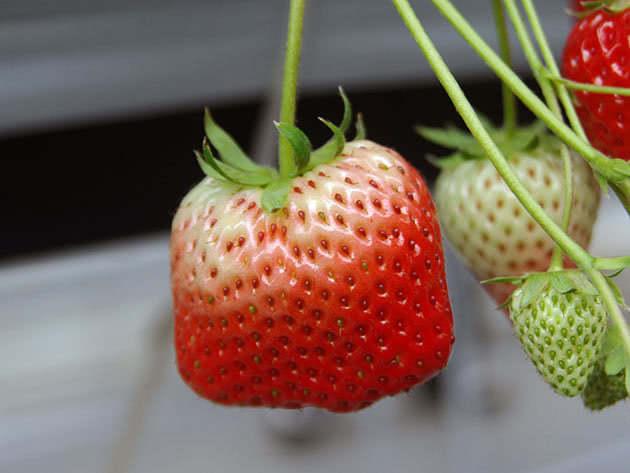 Недостигла ягода полуниці