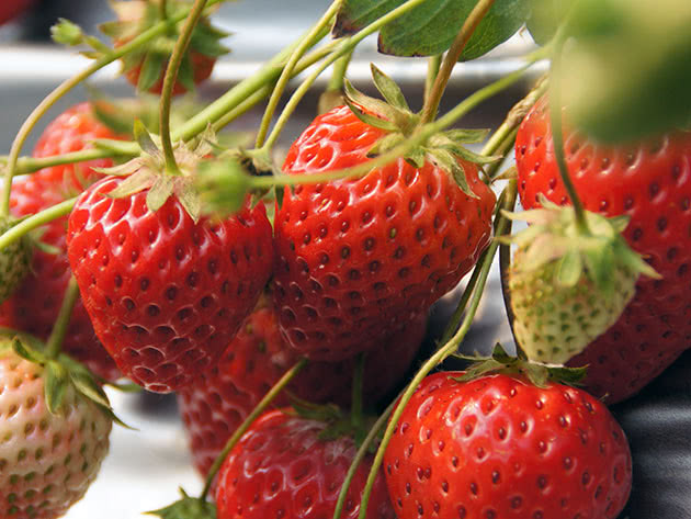 Догляд за полуницею для гарного плодоносіння