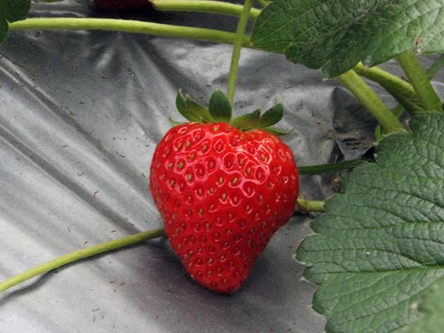 Садова або мускусна полуниця