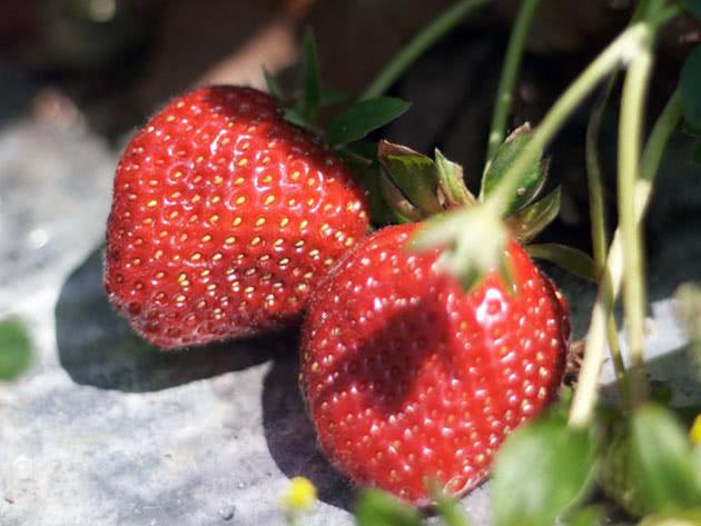 Як вирощувати полуницю в саду