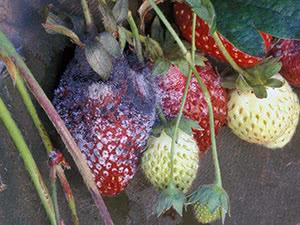 Хвороби полуниці та їх лікування