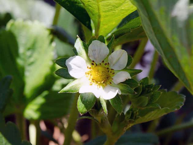 Цвітіння полуниці