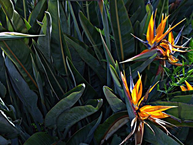 Квіти стреліція