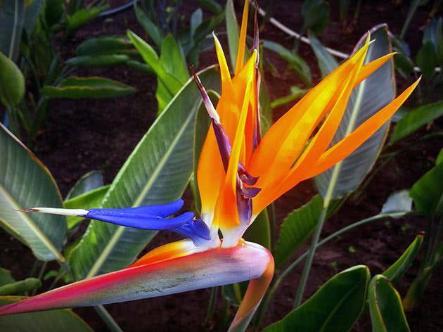 Квітка стреліція
