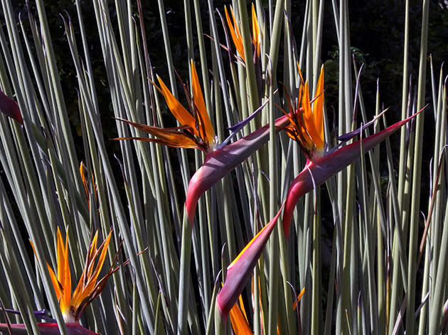 Стреліція очеретяна / Strelitzia juncea