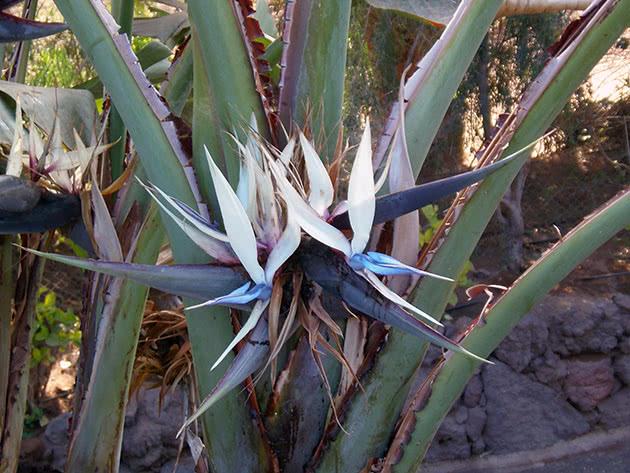 Стреліція Августа, або стреліція біла / Strelitzia alba
