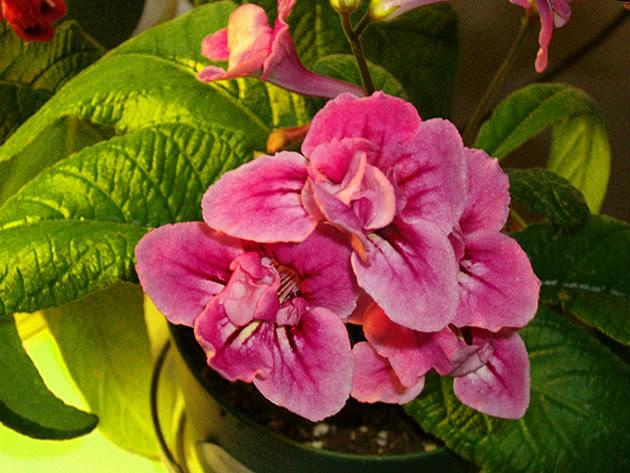 Квітка стрептокарпус