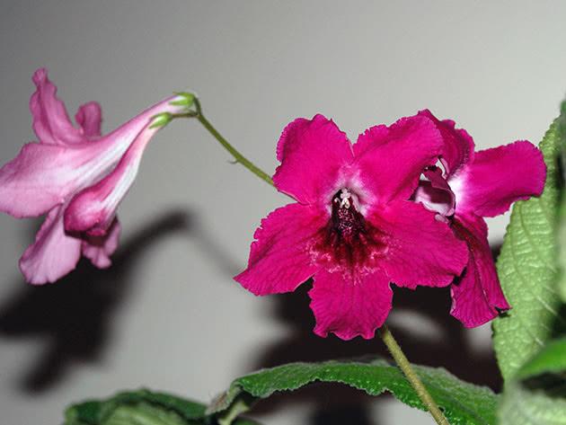 Стрептокарпус темно-рожевий