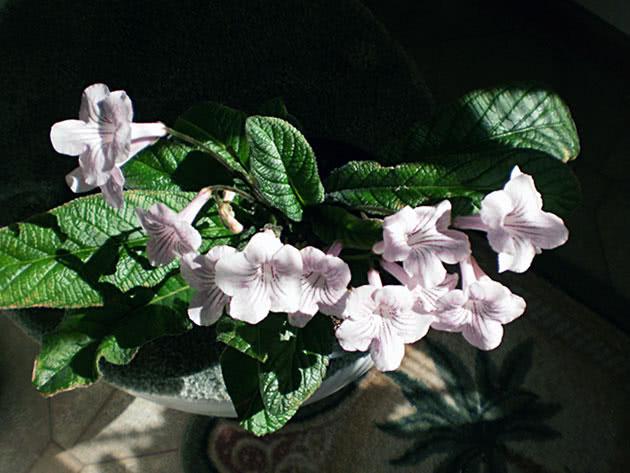 Білі квіти стрептокарпуса