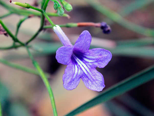 Стрептокарпус Вендленда / Streptocarpus wendlandii