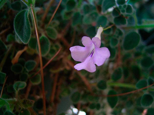 Стрептокарпус стеблоутворюючий / Streptocarpus caulescens