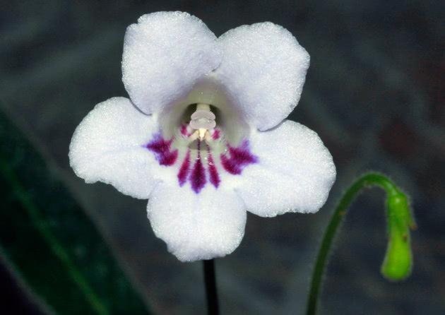 Стрептокарпус королівський (Рекса) / Streptocarpus rexii