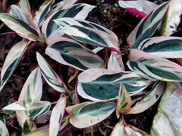 Строманта кровавая, или кроваво-красная / Stromanthe sanguinea