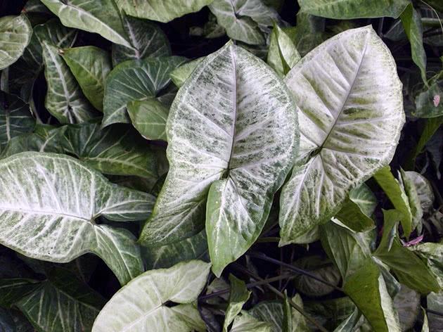 Кімнатна рослина сингоніум