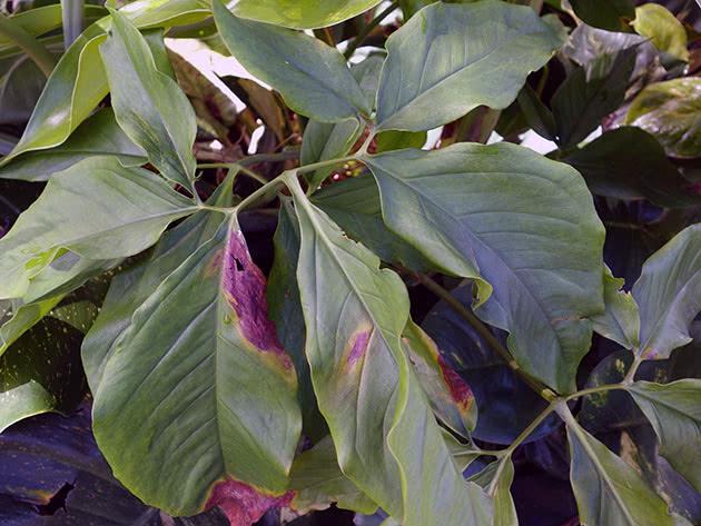 Сингониум ушковатый, или ушковидный / Syngonium auritum