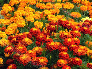 Квіти чорнобривці