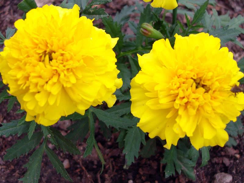 Чорнобривці прямостоячі Жовтий (Tagetes erecta)