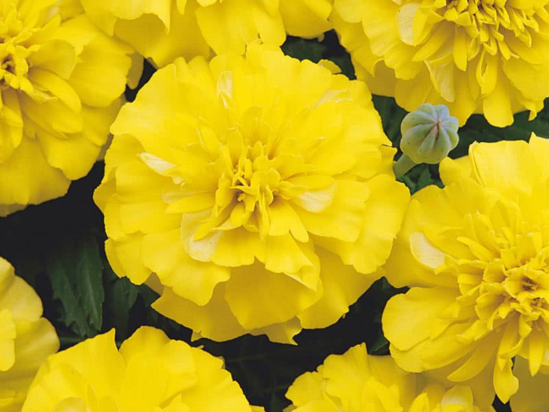 Чорнобривці низькорослі (Tagetes patula Bonanza Yellow)