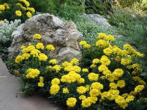 Жовті чорнобривці