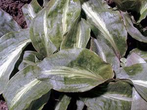 Правила догляду за тіньолюбними рослинами