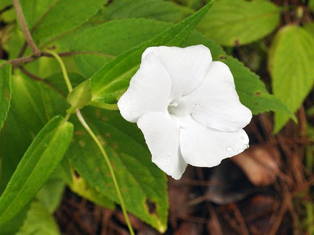 Квіти тунбергія