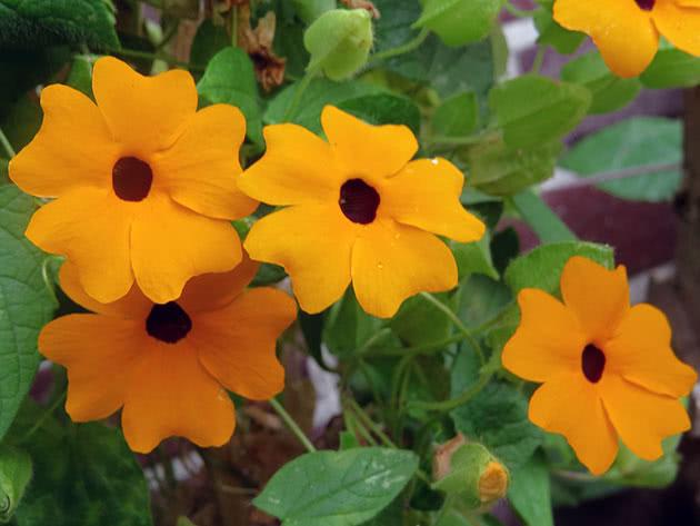 Квіти тунбергії