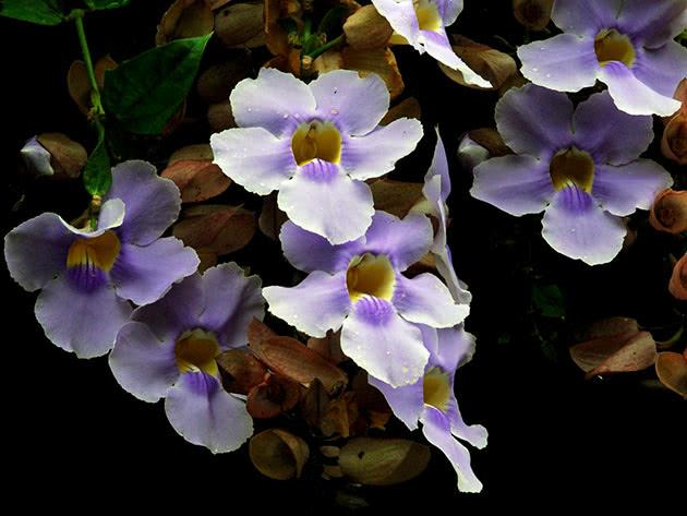 Квітуча тунбергія