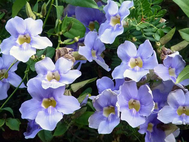 Тунбергія великоквіткова (Thunbergia grandiflora), тунбергія грандіфлора, тунбергія блакитна