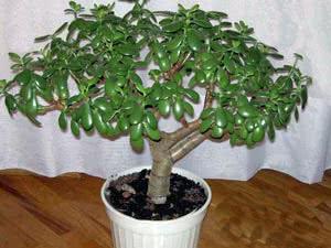Товстянка – Грошове дерево – Крассула
