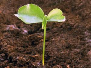 Цитрусовые растения из косточки
