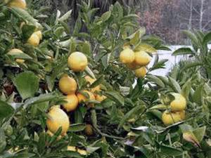 Правила ухода за цитрусовыми растениями