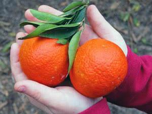 Пересадка і розмноження цитрусових рослин