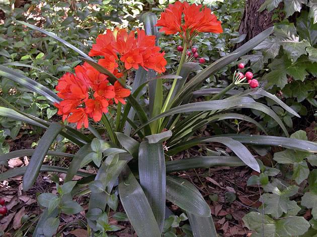 Кливия – неприхотливый цветок