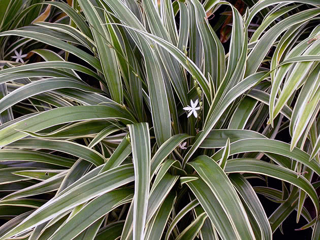 Хлорофитум – неприхотливый цветок