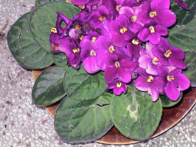 Сенполия или узамбарская фиалка – неприхотливый цветок