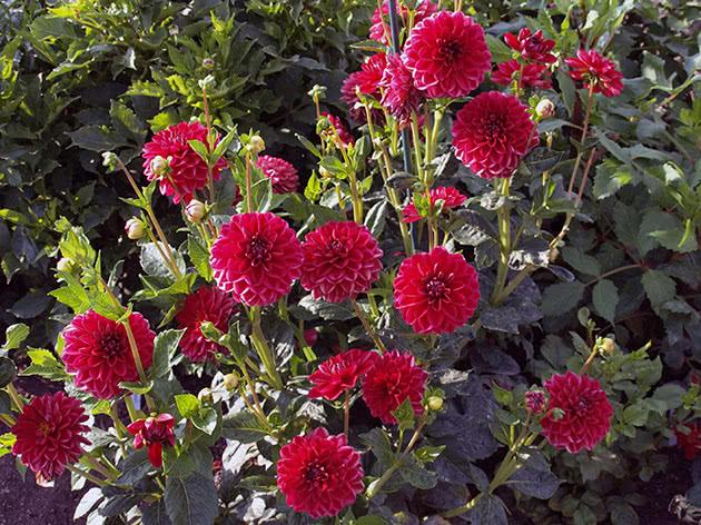 Квітучий кущ жоржини