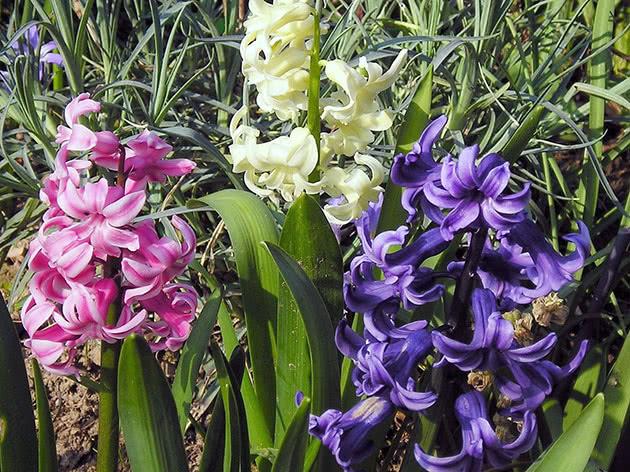 Квітучі гіацинти на ділянці