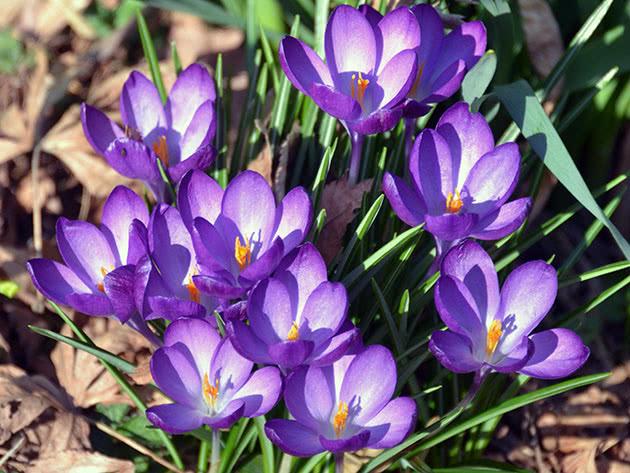 Весняні крокуси