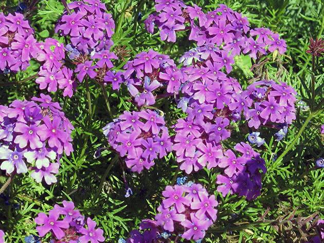 Цвітіння флоксів