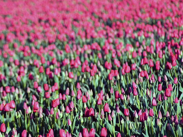 Поле тюльпанів