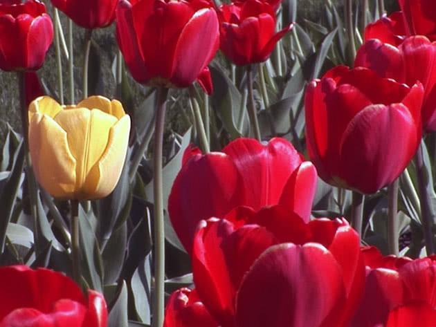 Квіти тюльпани