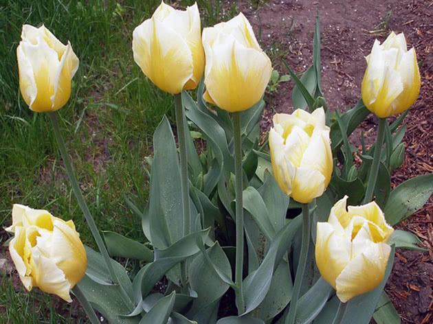 Прості ранні тюльпани