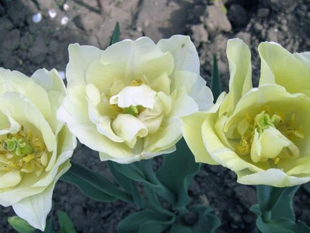 Махрові ранні тюльпани