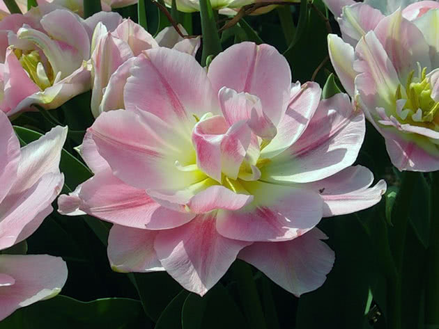 Тюльпани Тріумф
