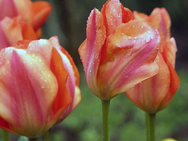 Тюльпани Дарвінові гібриди